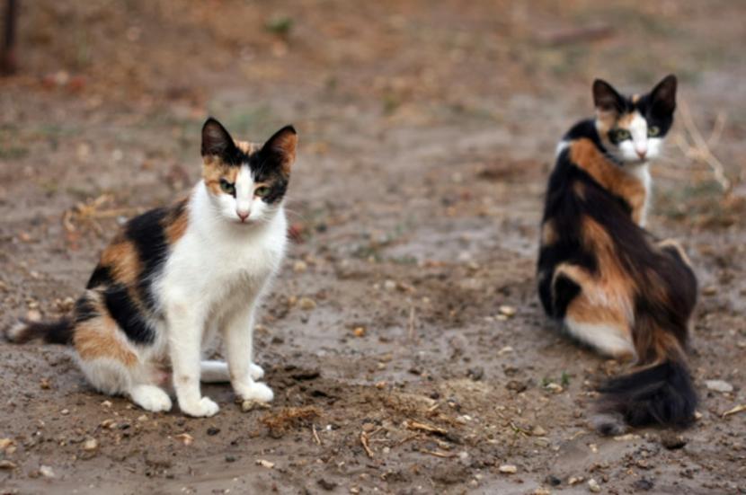Gatos tricolores