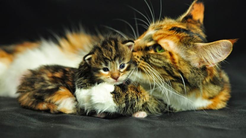 Gatos acicalándose