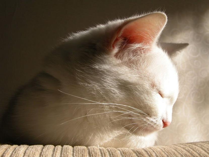 Gato blanco durmiendo