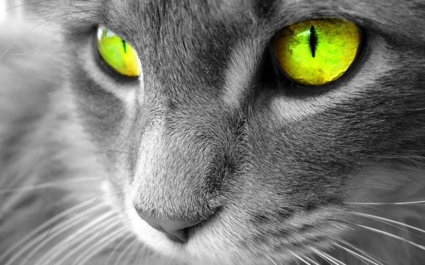 Gato con ojos verdes