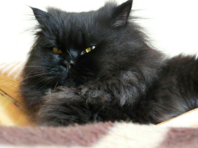 Gato persa negro