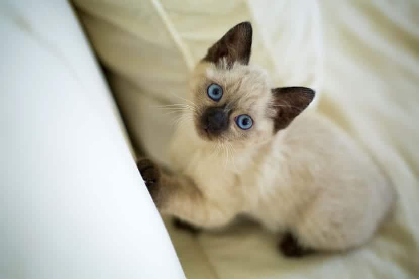 Los gatitos maúllan cuando quieren algo