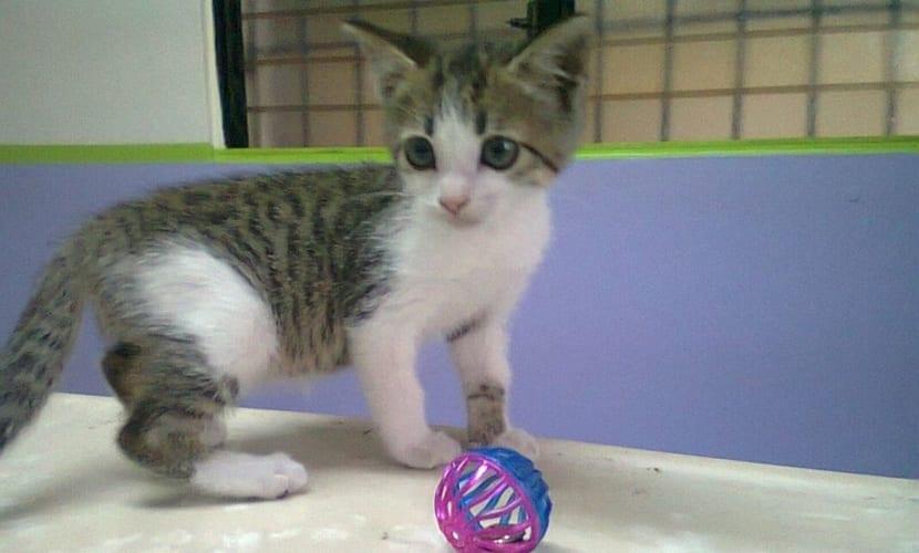 gato sin pedigri