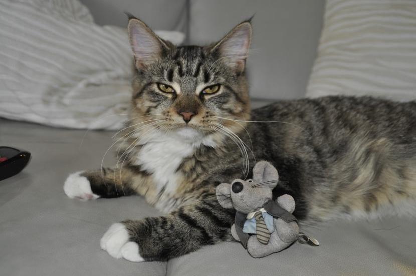 El gato inquisitivo es el que quiere ser el primero en todo
