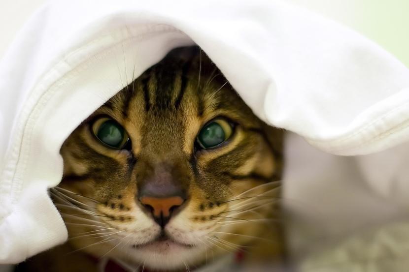 Un gato ocultará sus síntomas todo lo que pueda