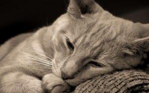 La leucemia felina es una enfermedad grave