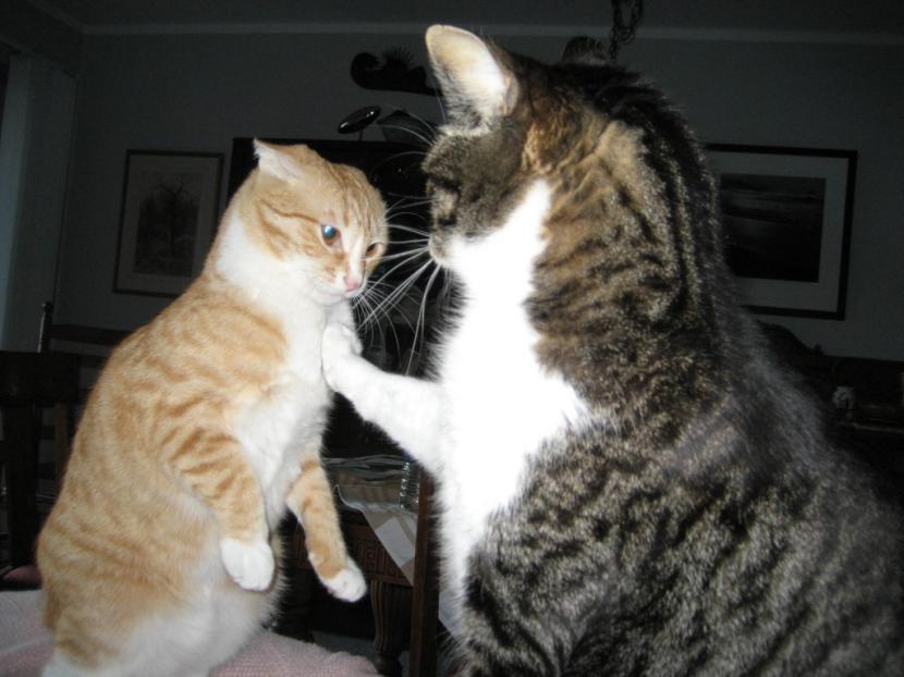 Gatos peleando
