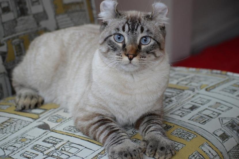 Gato Highland Linx