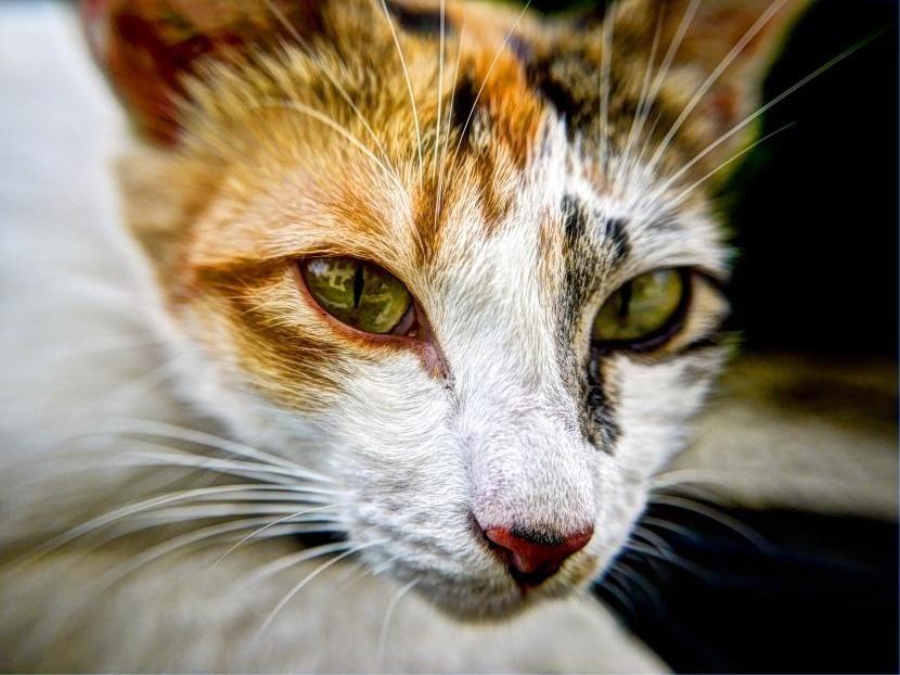 Gato con ojo hinchado