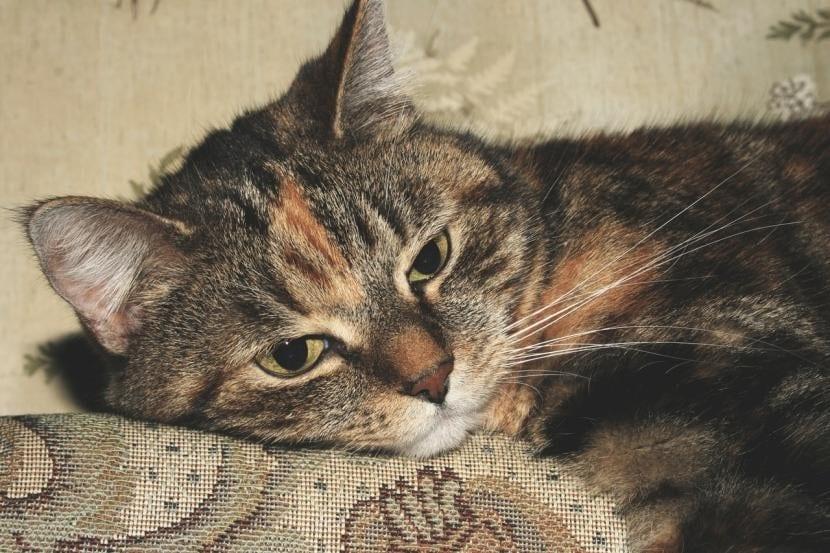 Gato cojo
