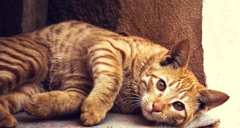 Gato que no puede andar por cojera