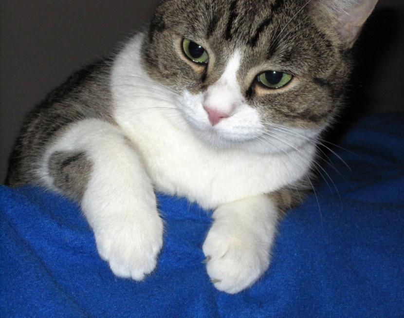 Gato con ojos enfermos