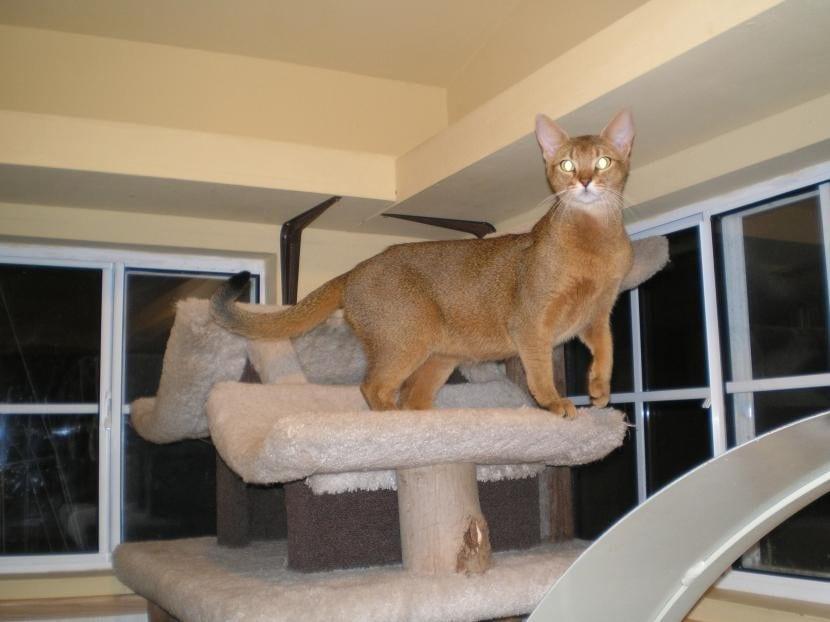 Gato Chausie en el hogar