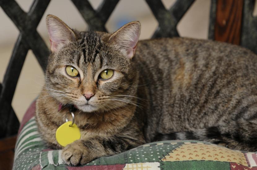 Gato con placa