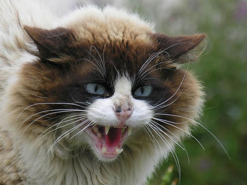 Resultado de imagen de gato enfadado