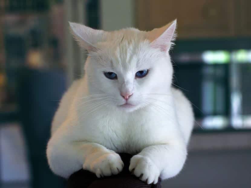 Gato que cojea