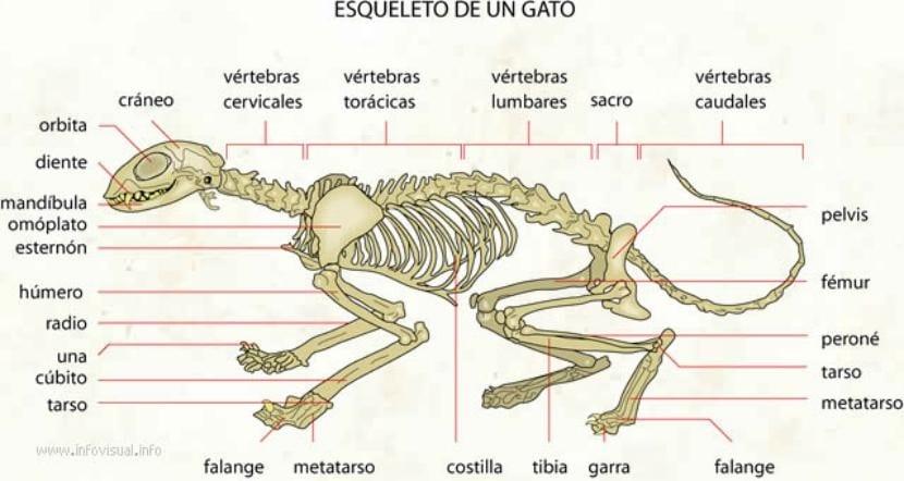 Esqueleto de un gato