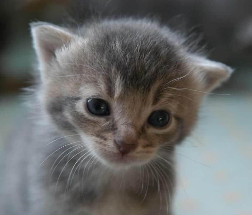 Los gatitos bebés comen solos a partir del mes de vida