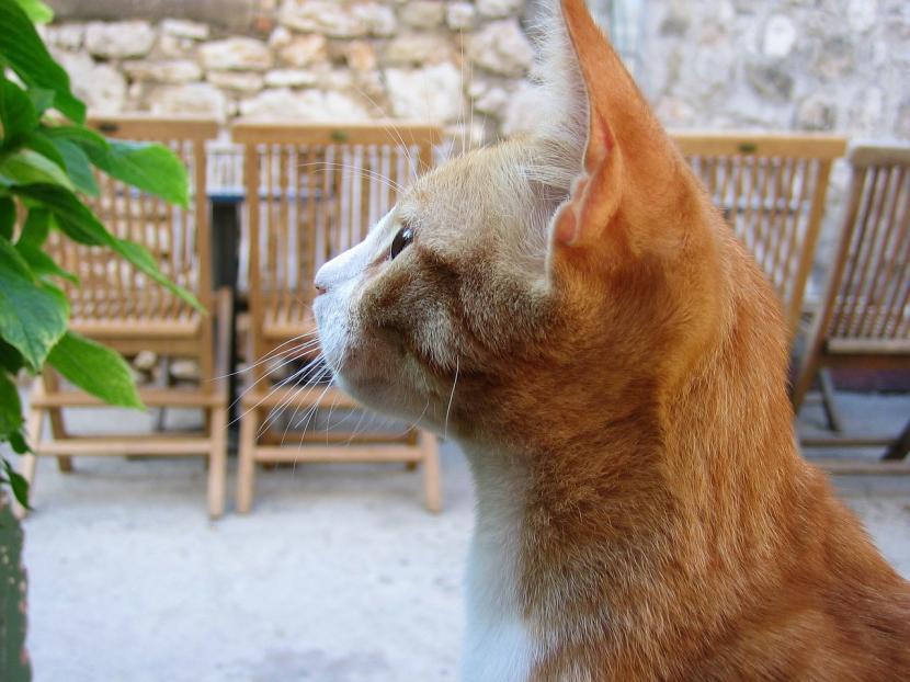 Gato visto de perfil