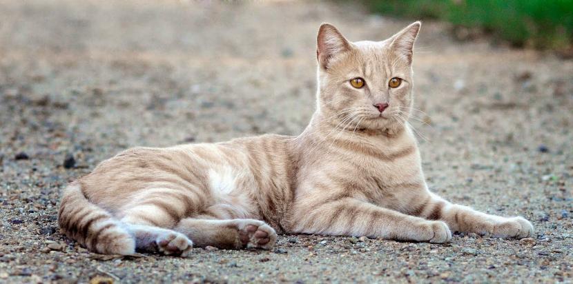 Gato color crema