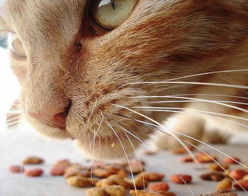 Gato comiendo pienso