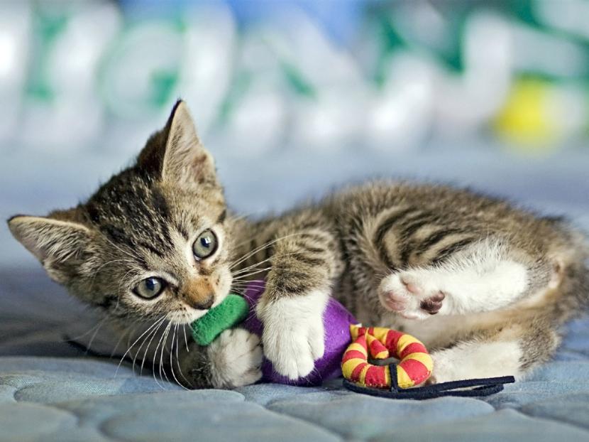 Gato con peluche