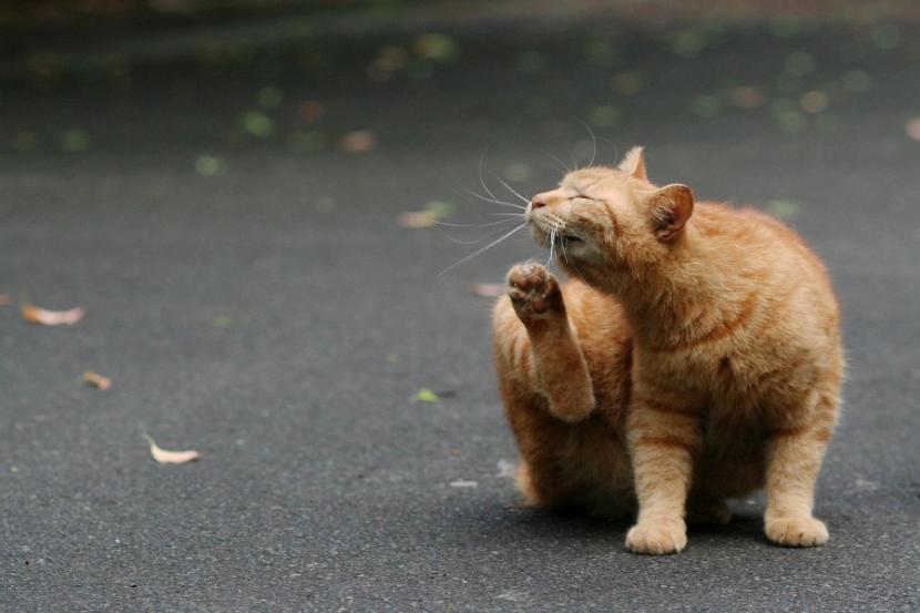 Gato naranja rascándose
