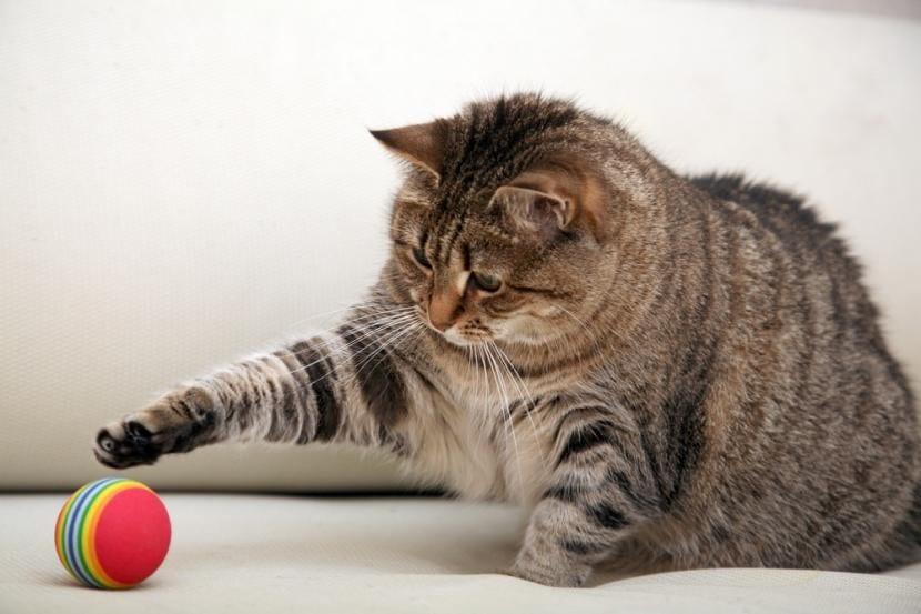 Gato obeso jugando