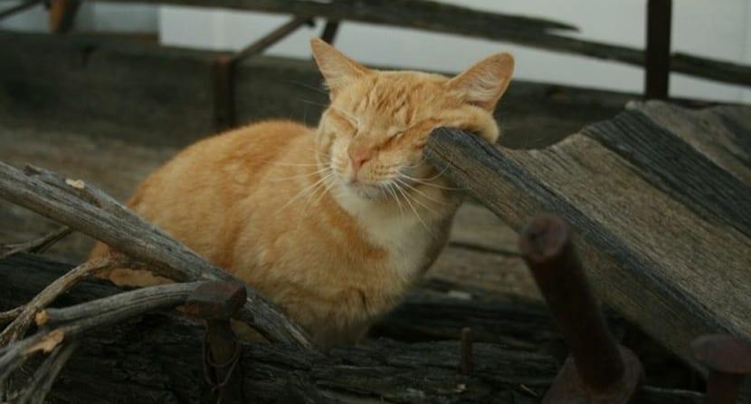 acaros gato