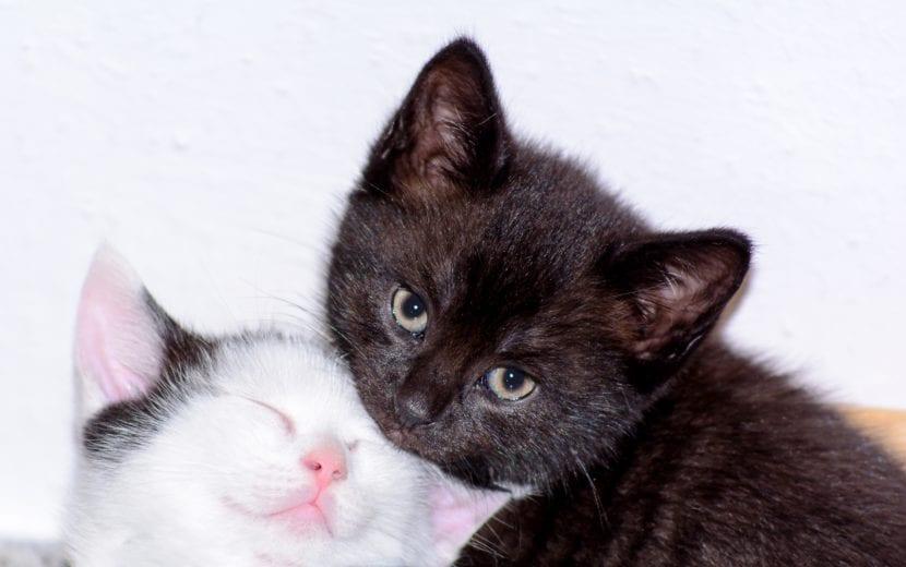 Los gatos empiezan a maullar desde bebés