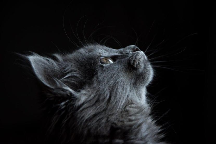 El maullido del gato tiene varios significados