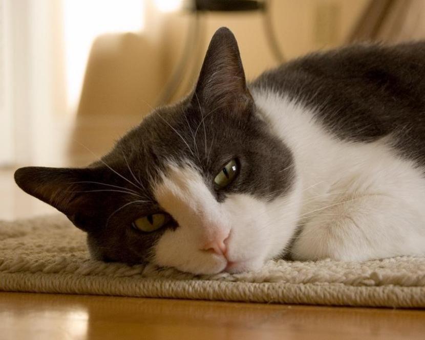 Gato cansado