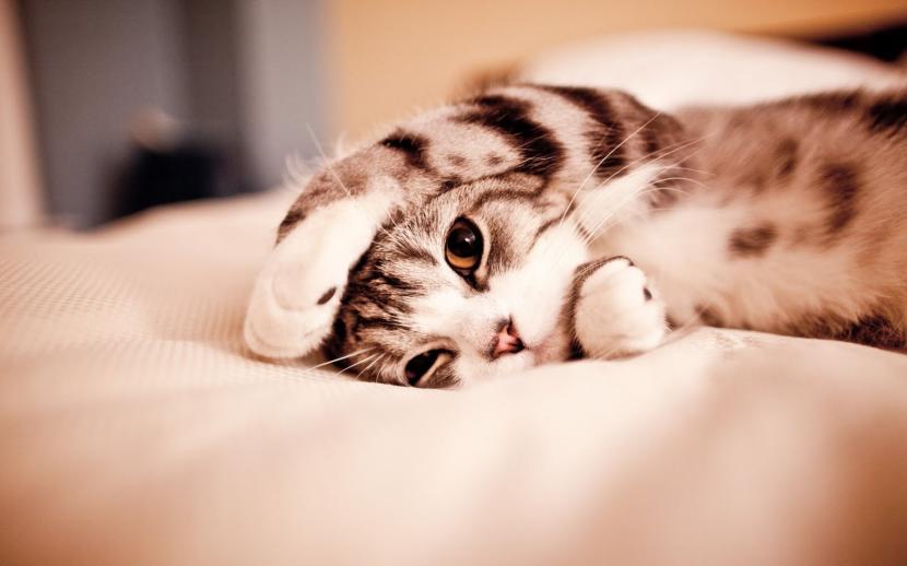 Gato en cama