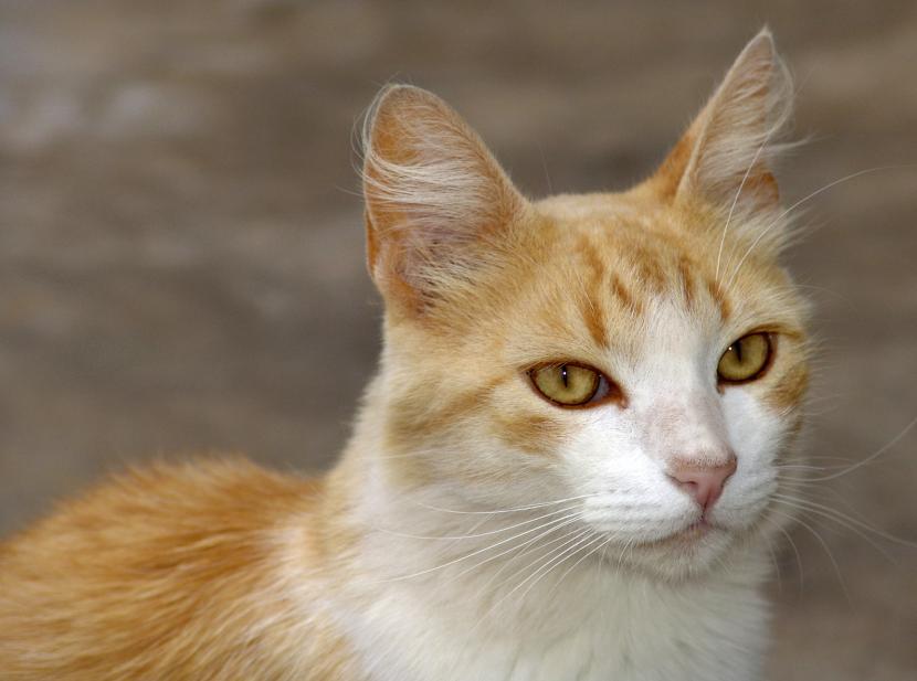 Gato mestizo
