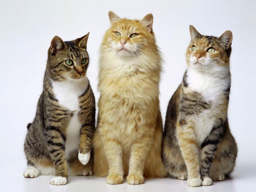 Cu ntos gatos se pueden tener en casa - Como saber si tengo pulgas en casa ...