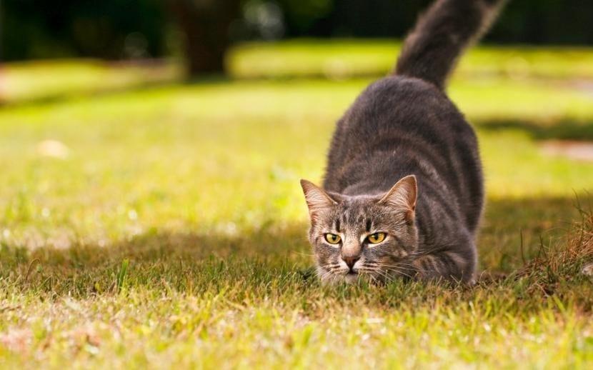 El gato cazador disfruta cazando
