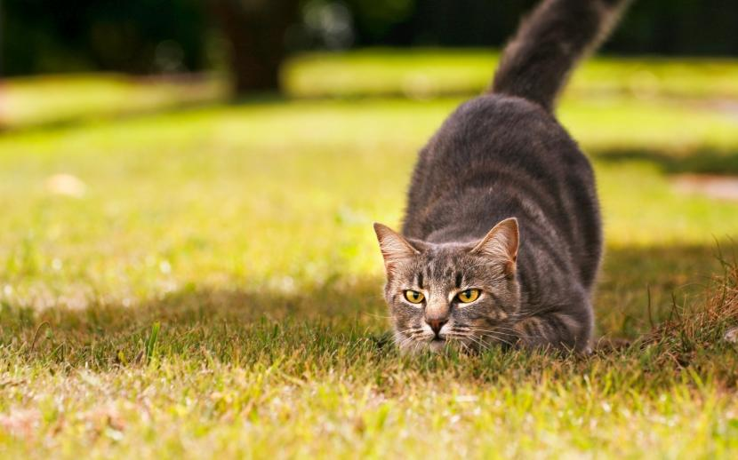 Gato en posición de caza