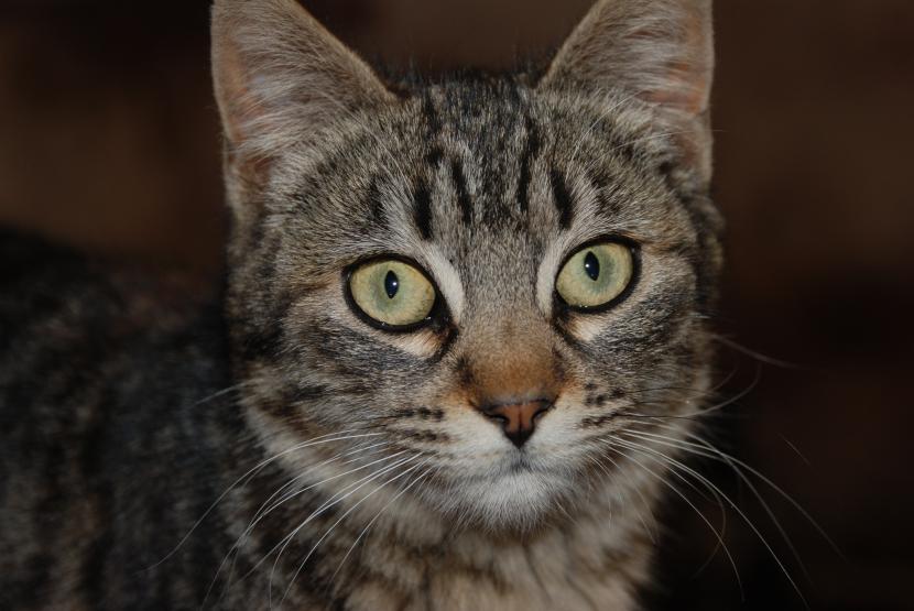Gato aitgrado marrón