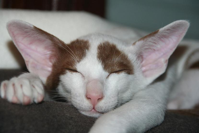 Gato dormido