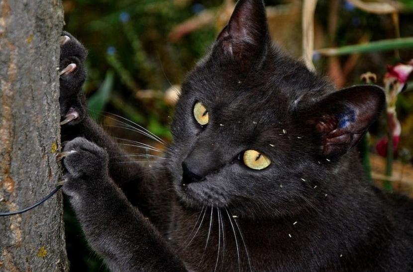 Gato negro afilándose las uñas
