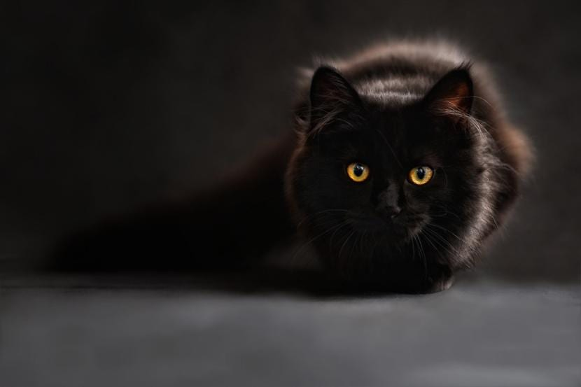 Gato de pelo oscuro