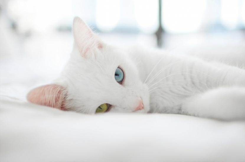 Gato albino tumbado
