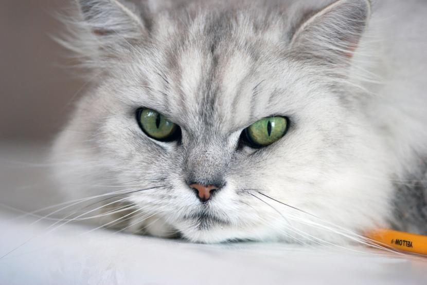 Cuánto vive un gato