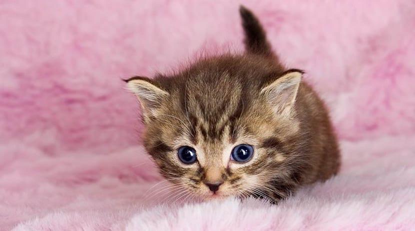 embarazo gata