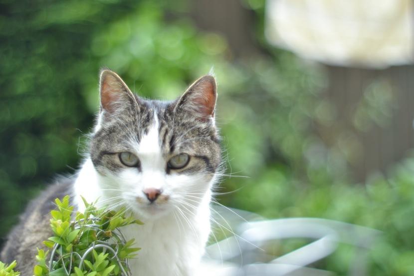 Enfermedades genéticas del gato