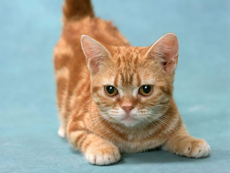 Gato naranja cachorro