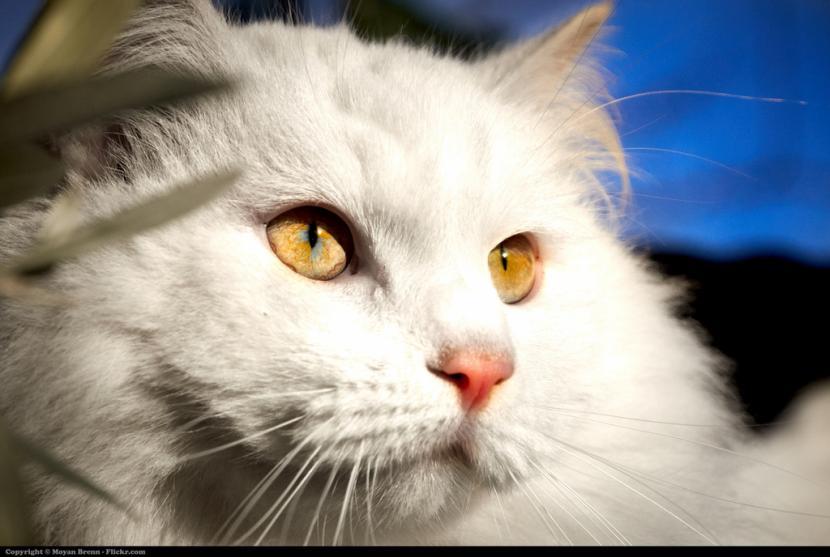 Gato blanco de pelo largo