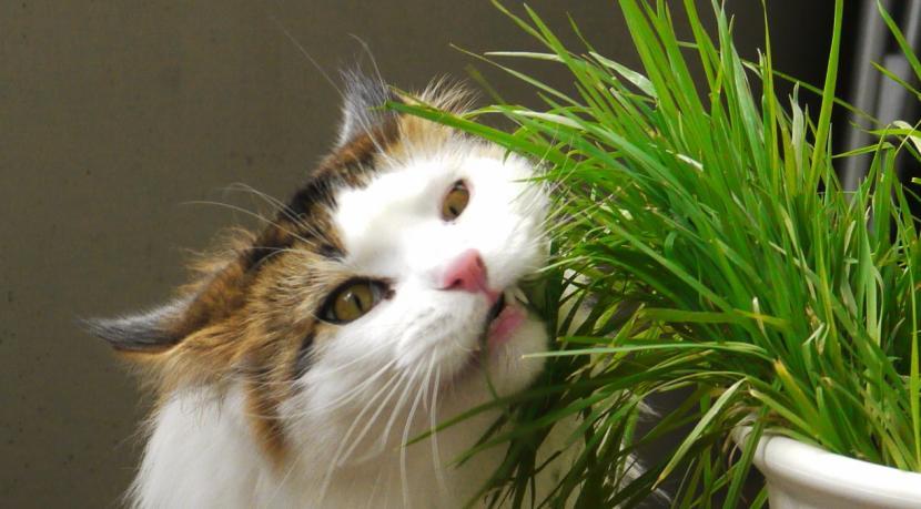 Gato comiendo hierba