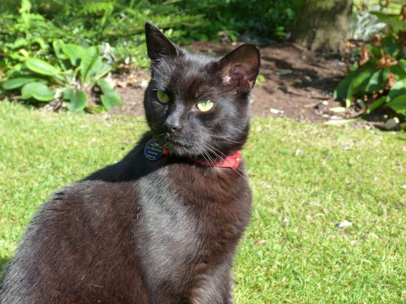 Gato negro con collar