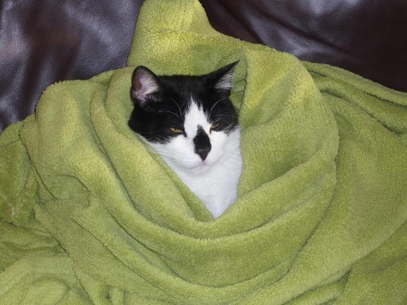 Gato friolero tapado con una manta